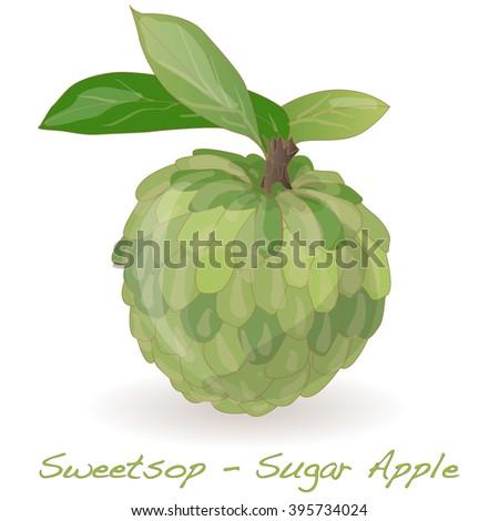 Sugar Apple (custard apple, Annona, sweetsop) vector on white background - stock vector
