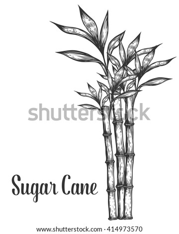 Sugar cane stem branches and leaf vector hand drawn illustration. Sugar cane Sugarcane Black on white background. Sugar cane Engraving style. Sugar cane sketch - stock vector