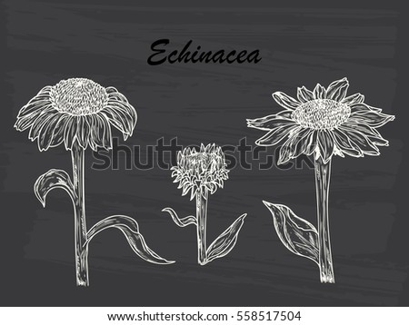 Summer Flowers. Medicinal plants Set. Echinacea Purpurea Flowers. Eastern Purple Coneflower. Alternative medicine. Biological additives are. Traditional herbal therapy. Vector illustration