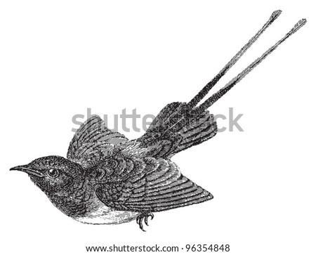 Sunbird (Nectariniidae) / vintage illustration from Meyers Konversations-Lexikon 1897 - stock vector