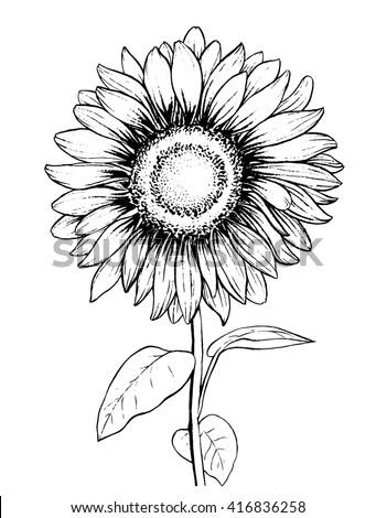 Sunflower. Hand draw wector illustration. - stock vector