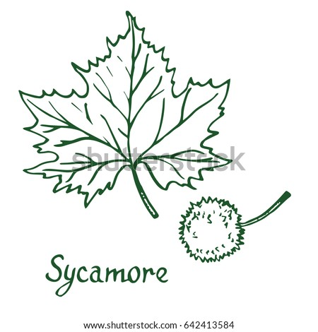 Sycamore American Tree Platanus Occidentalis Leaf And Fruit Hand Drawn Doodle