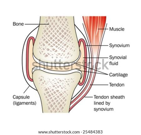 Knee synovium anatomy