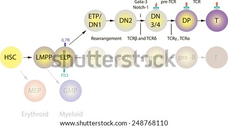 T-cells differentiation - stock vector