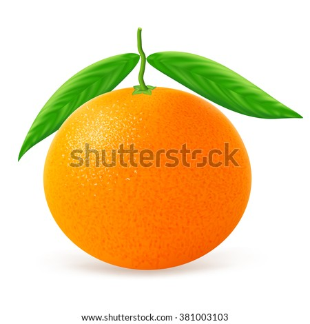 Tangerine with leaves isolated on white background. Vector illustration for decorative poster, emblem natural product, farmers market. Perfect for packaging design of cosmetics and food.