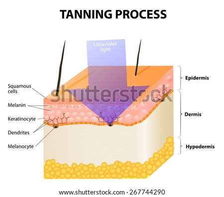 Tanning process. Skin. Human anatomy - stock vector