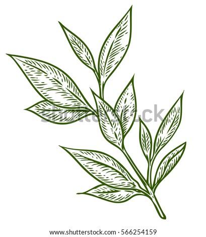 Tea Tree Hand Drawn Botanical Vector Illustration Of Malaleuca Cosmetics And Medical Plant Flowers