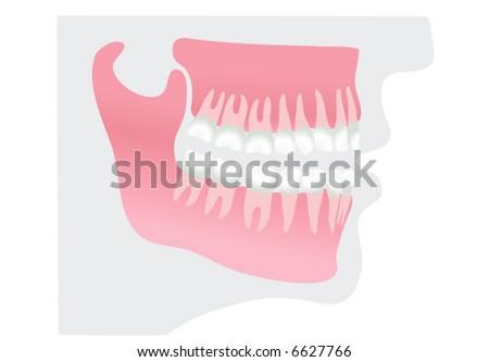 teeth in profile (vector) - stock vector