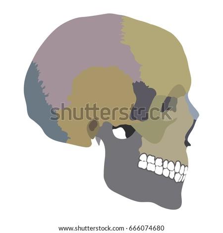 Bones Cranium Bones Head Skull Individual Stock-Vektorgrafik ...