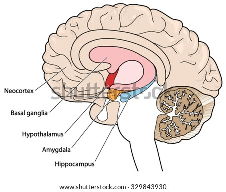 Brain Cross Section Showing Basal Ganglia Stock Vector Royalty Free
