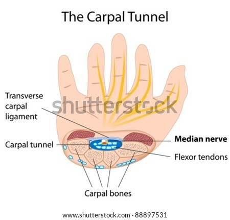 The carpal tunnel structure, can be used for explaining carpal tunnel syndrome, a common condition among keyboard users - stock vector