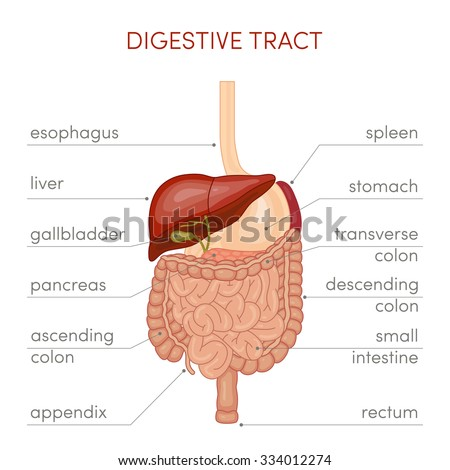 The digestive tract of a human. Cartoon vector illustration for medical atlas or educational textbook.  - stock vector