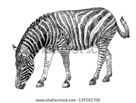 The drawing vector of zebra