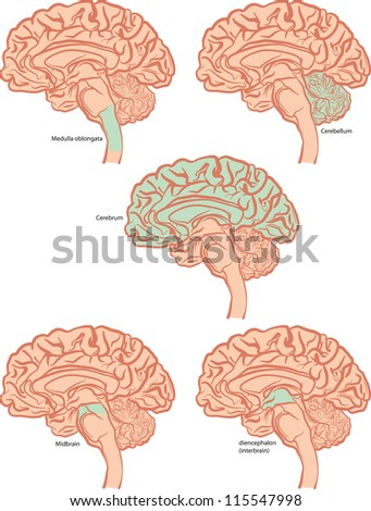 The five basic parts of the brain. - stock vector