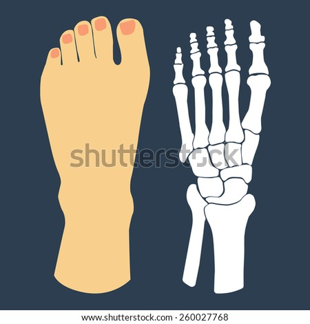 The flat design of the foot and the foot skeleton. Vector illustration. - stock vector