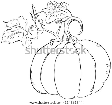 The fruit of the pumpkin with leaves and blossoms ovary. Vector illustration.