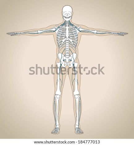 The human (male) nervous system. Vector illustration