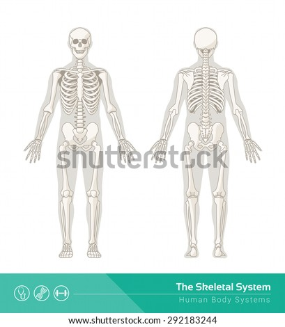 The human skeletal system, vector illustrations of human skeleton front and rear view - stock vector