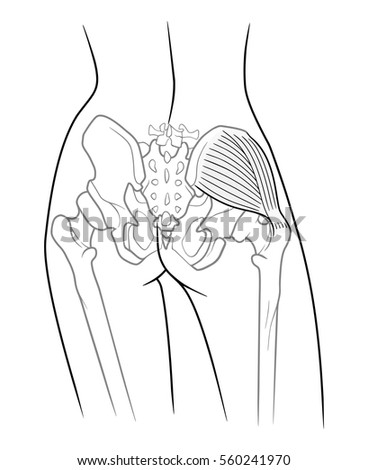pelvic girdle stock images  royalty