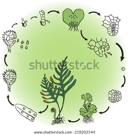 The life cycle of ferns. This illustrates the alternation of generations in ferns. - stock vector