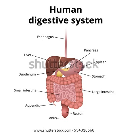 Digestive system stock images royalty free images vectors the location of the gastrointestinal tract in the body the human digestive system gi ccuart Image collections