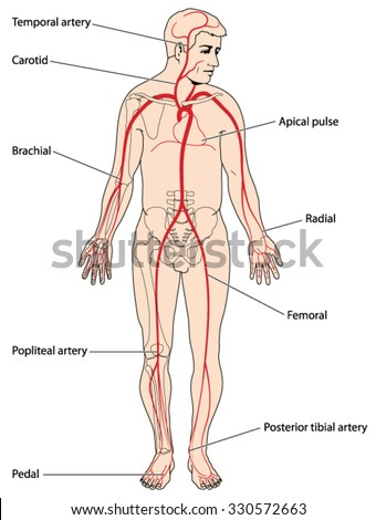 Major Arteries Pulse Points Head Arms Stock Vector HD (Royalty Free ...