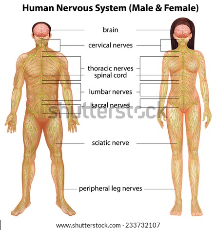 Human nervous system stock images royalty free images vectors the male and female nervous systems on a white background ccuart Choice Image