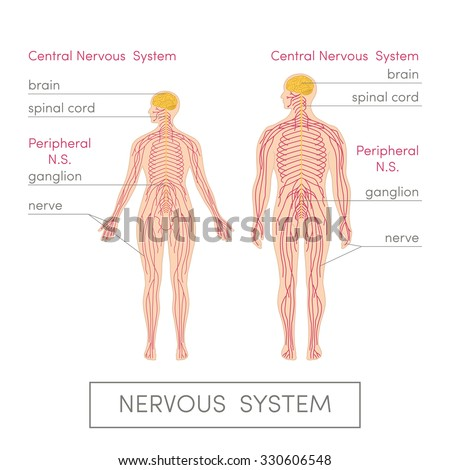The nervous system of a human. Cartoon vector illustration for medical atlas or educational textbook. Male and female physiology. - stock vector