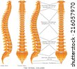 The Spinal Column. The Spinal Column Diagram. Human spine from side and back with intervertebral discs marked. Vertebral column - including Vertebra Groups ( Cervical, Thoracic, Lumbar, Sacral ) - stock vector