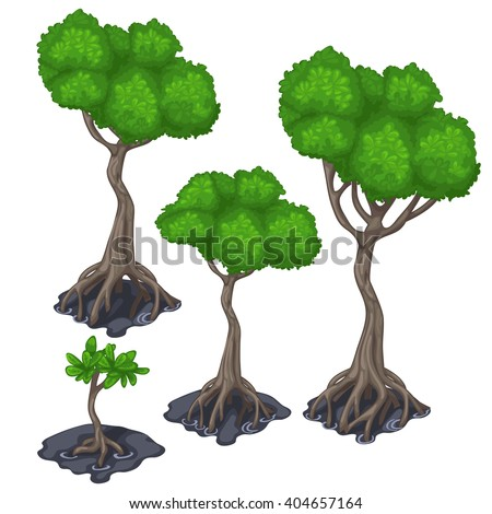 The stages of growing tree with exposed root system. Tropical Mangrove forest isolated on white background. Vector illustration. - stock vector