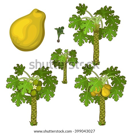 The stages of growth and ripening papaya. Plants isolated on white background. Agriculture. Vector.