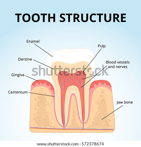 Structure human teeth medical diagram structure stock vector the structure of human teeth medical diagram of the structure of the inside cross ccuart Gallery