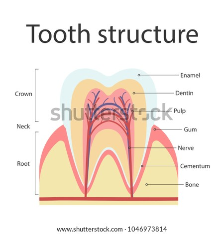 Tooth cross section stock images royalty free images vectors the structure of human teeth the structure of the inside cross section of the ccuart Choice Image