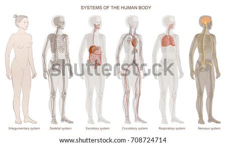 Vector Illustration Human Body Systems Circulatory Stock ...