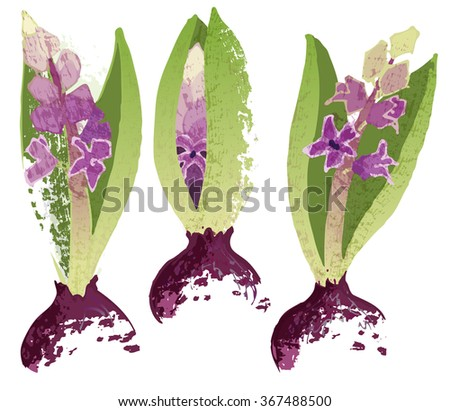 Three hyacinth with bulbs. Botanical style vector illustration. - stock vector