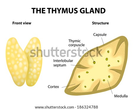 Thymus structure. Vector diagram. Gland lies in the thoracic cavity, just above the heart. It secretes thymosin. - stock vector
