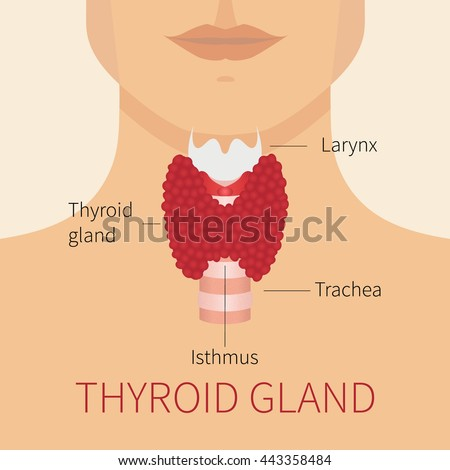 Thyroid gland and trachea scheme shown on a silhouette of a man. Human body organs thyroid anatomy icon. Medical concept. Anatomy of people.  - stock vector