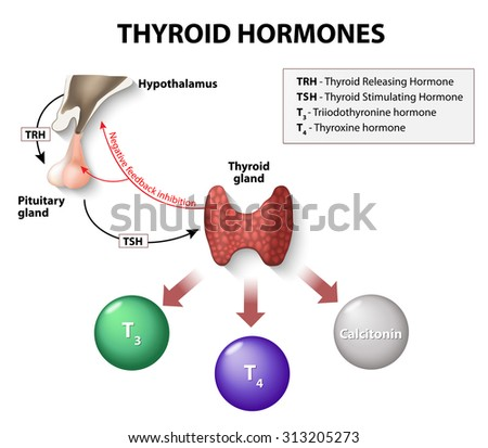 Thyroid Hormones Human Endocrine System Stock Vector 313205273 ...
