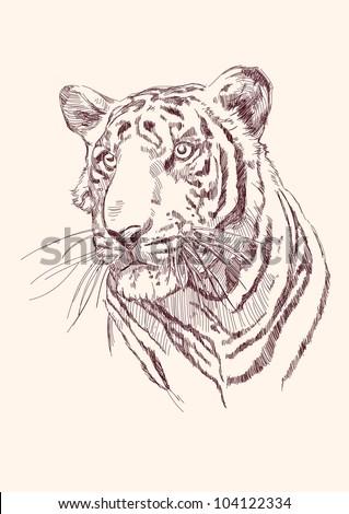 Tiger hand drawn vector llustration realistic sketch - stock vector