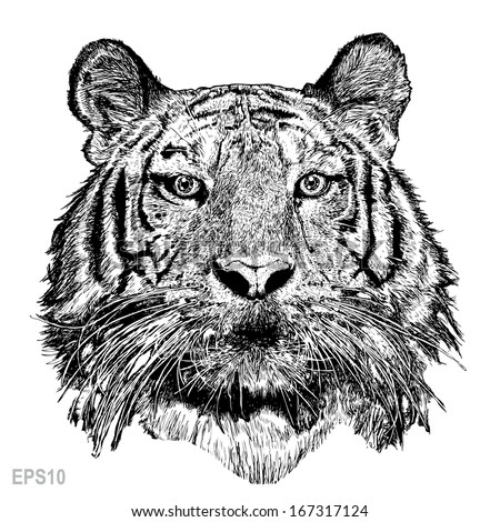 Tiger sketch line with Vector EPS 10 - stock vector
