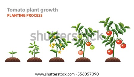 Tomato+plant on Parts Of A Seed Worksheet