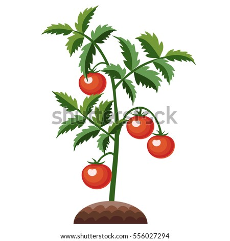Tomato Plant Growth Planting Process Vector Stock Vector ...