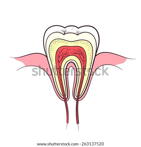 tooth anatomy color outline vector illustration - stock vector