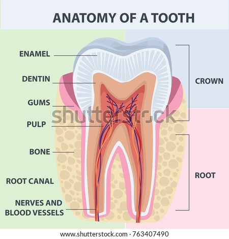 Tooth Anatomy Vector Dental Infographics Medical Stock-Vektorgrafik ...