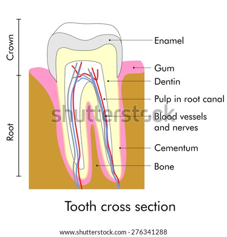 Tooth cross section showing teeth anatomy - stock vector