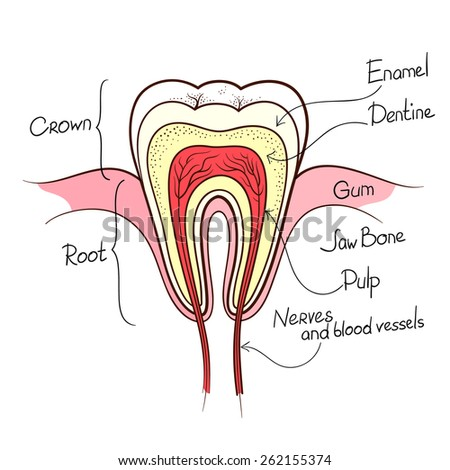 tooth cut anatomy layout outline color vector illustration - stock vector