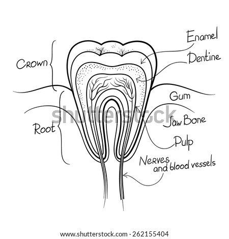 tooth cut anatomy layout outline vector illustration - stock vector