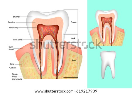 Tooth structure medical diagram structure inside stock vector 2018 tooth structure medical diagram of the structure of the inside cross section of the ccuart Choice Image