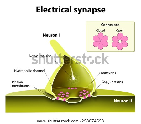 Trafficking of channels at electrical synapses. Electrical synapses work with practically no time delay. suspected of contributing to the spread of seizure discharges in epilepsy. - stock vector
