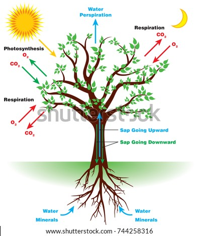 how is photosythesis helpful Photosynthesis is the process by which plants produce the energy they need to  survive and grow and water is central to the process photosynthesis uses the.